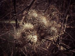 dried prickly thistle blossoms