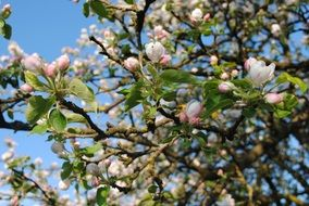 apple tree in spring blossom close-up