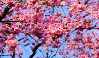Japanese Cherry Blossom smell