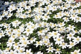 incomparable Wood Anemone Flower