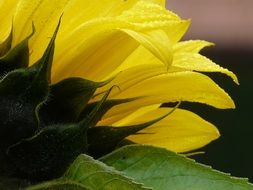 yellow sunflower petals closeup