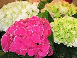 hydrangea flowers of different colors