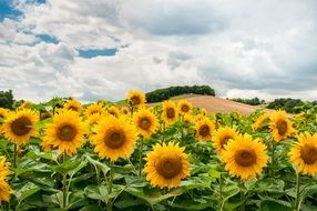 field with yellow sunflower
