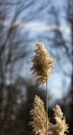 Macro photo of reed plant in nature