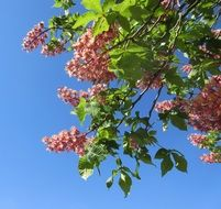 chestnut pink flowers