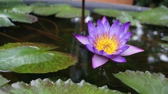 purple water lily on a pond with green leaves