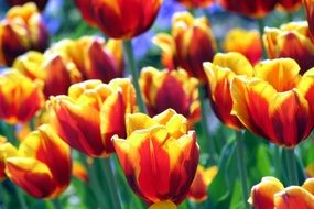 Yellow Red Meadow Tulips