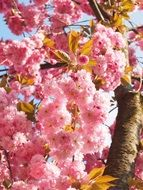 flowering cherry blossoms in spring