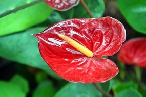 bright red anthurium in a flower pot