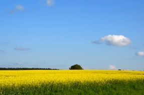 Picture of Field Of Rapeseeds