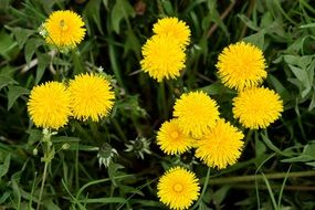 yellow dandelions in summer meadow