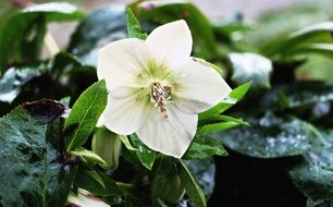 white christmas rose
