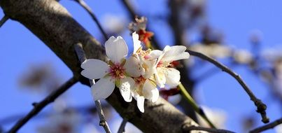 spring flowers on a branch of an apple tree