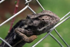 chameleon on a metal fence