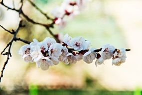 Apricot Blossom Flowers Flower