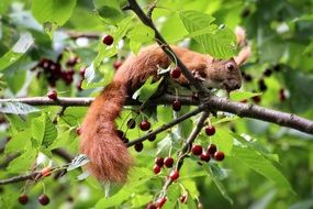 Squirrel on Cherries Tree branch