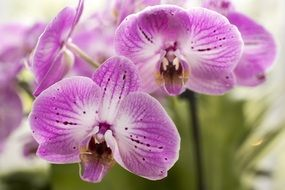 Moth Orchid, Purple phalaenopsis Flowers