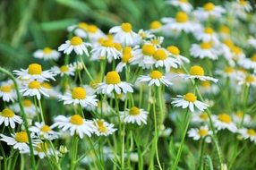meadow with daisies close-up