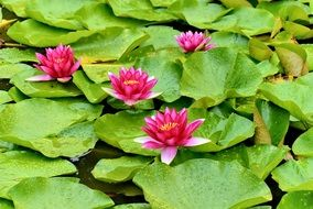 Pink Water lily flowers nature plant spring