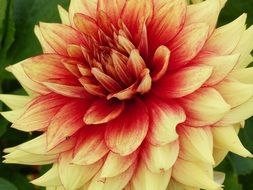 red and yellow fluffy flower of Dahlia