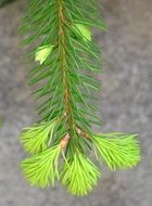 young spruce branch on the background of an asphalt path