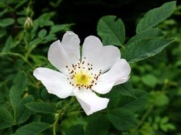 incredibly handsome Wild white Rose