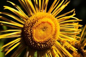 inula inflorescence