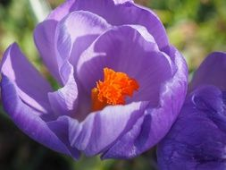 purple crocus with bright heart