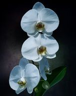 delicate white orchid flowers