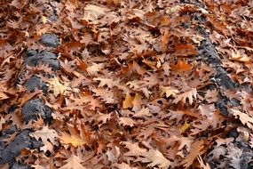 fallen brown Oak Leaves on ground