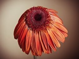 withered gerbera flower