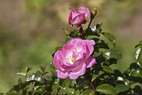 open pink rose blooming at autumn