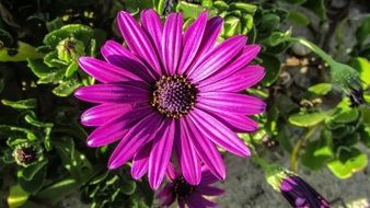 bright purple african daisy