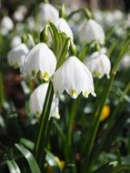 snowdrops like spring flowers