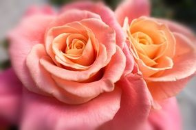 two pale pink roses close up
