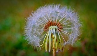 Dandelion Flying Seeds macro