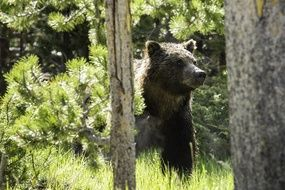 grizzly bear in a sunny forest