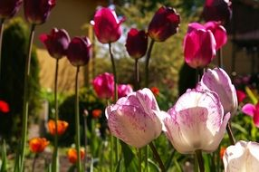 red and pink tulips blossomed