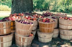 A lot of fresh apples in a baskets