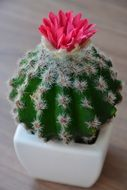 cactus with a pink flower in a white flower pot
