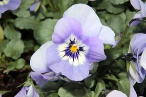 pansies with pale blue petals