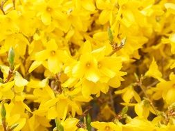 Forsythia Branches Yellow