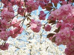japanese flowering cherry in April