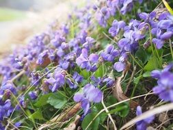 violet flowers in the forest