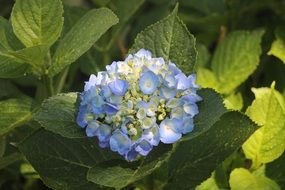 blue hydrangea flower on a green bush