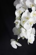 white orchid flowers in the dark