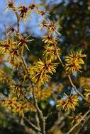 witch hazel is an ornamental shrub