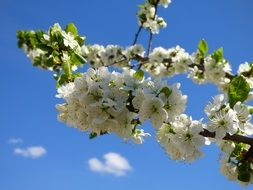 cherry branch with white flowers on a background of blue sky