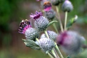 purple flowers of wild thistle close-up