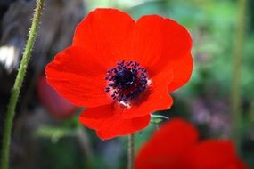 Red Anemone Flower bloom